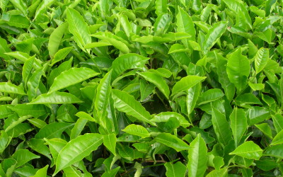 Valued medicinal plants and their purported powers