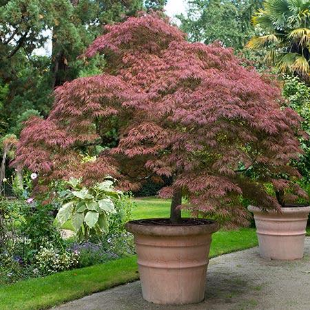 Japanese Maple Tips For A Successful Garden Watch Us Grow